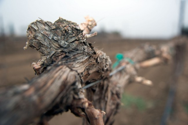 A close-up of damaged grape vines in Michael Vandborg's drought stricken vineyard in the Lamont farming community in southeastern Joaquin Valley in Kern County, CA on Feb. 26, 2014. USDA photo by David Kosling.
